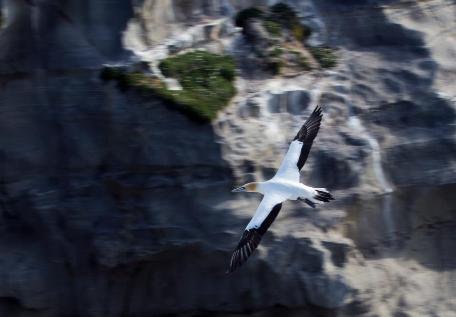 Gannet in flight at Maori bay