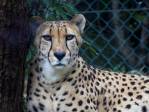Cheetah from the front