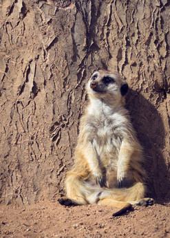 Meerkat leaning against a tree