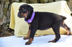 Purple #6 Female Pup