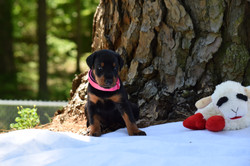 Pink #3 Female Pup