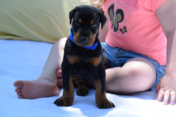 Blue #2 Male Pup