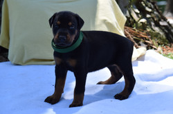 Green #5 Female Pup