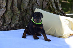 Lime Green #1 Male Pup