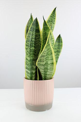 Dracaena trifasciata 'Futura Superba' in ceramic pot