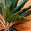 "Thumbnail: Chlorophytum orchidastrum ""Green Orange"""