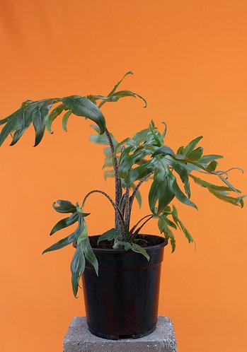 Alocasia brancifolia