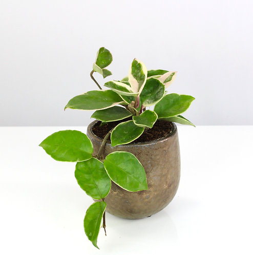 Hoya carnosa 'Albomarginata'