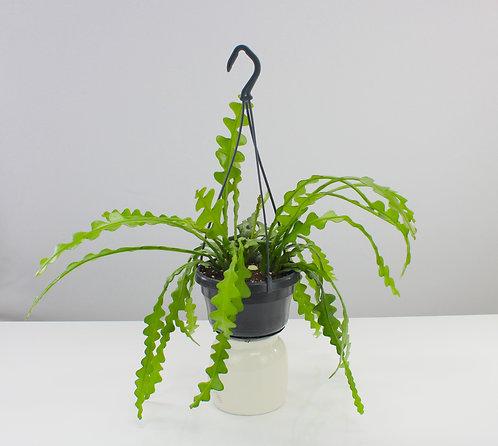 Epiphyllum anguliger - Fishbone Cactus