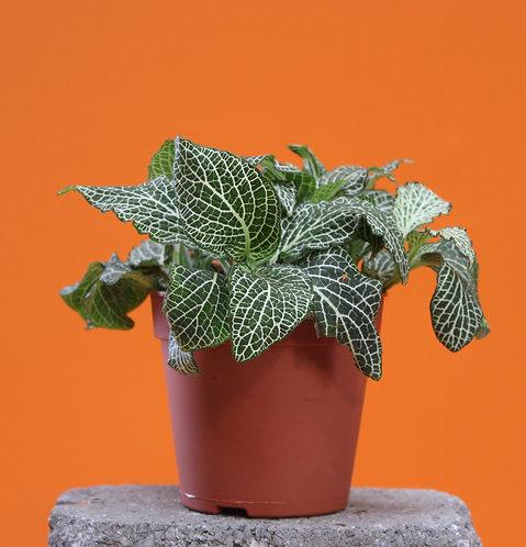 Fittonia albivenis 'White Anne'