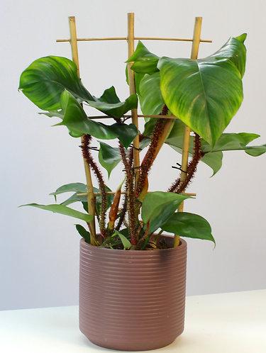 PhilodendronSquamiferum