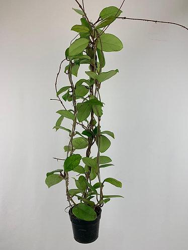 Hoya fungii X Hoya pubicalyx