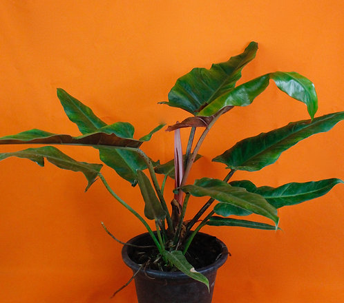 Philodendron 'Weeks Red' Hybrid