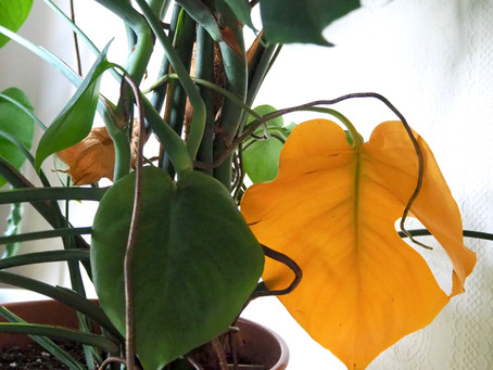 Why are my leaves turning yellow by Dr Laura Jenkins