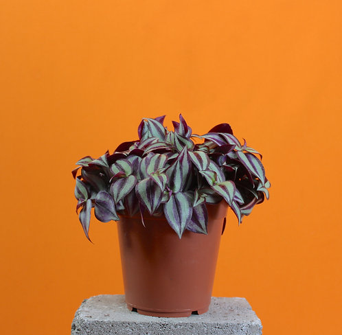"Tradescantia Zebrina ""The Wandering Jew"""