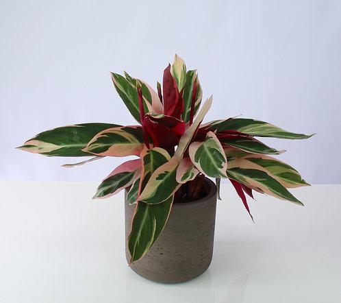 Stromanthe thalia 'Triostar'