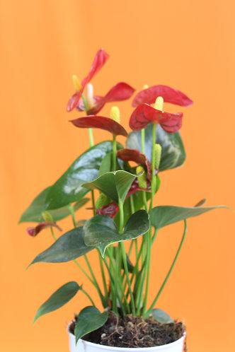 Anthurium andraeanum 'Royal Red Champion'