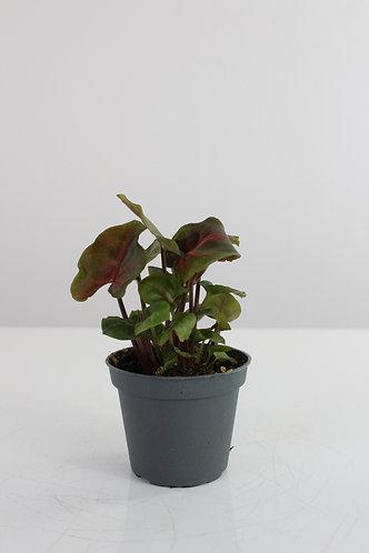 Syngonium podophyllum 'Maria'
