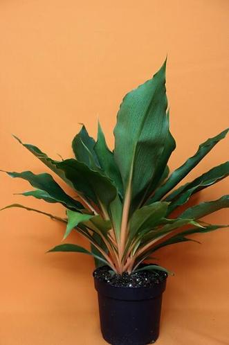 "Chlorophytum orchidastrum ""Green Orange"""