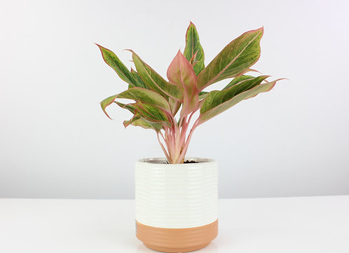 Aglaonema 'Golden Lipstick'