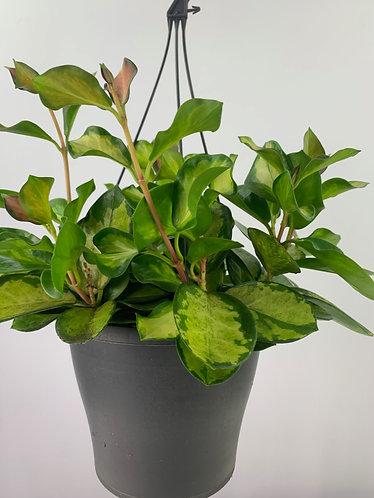 Hoya australis ssp. tenuipes 'Lisa' (hanging)