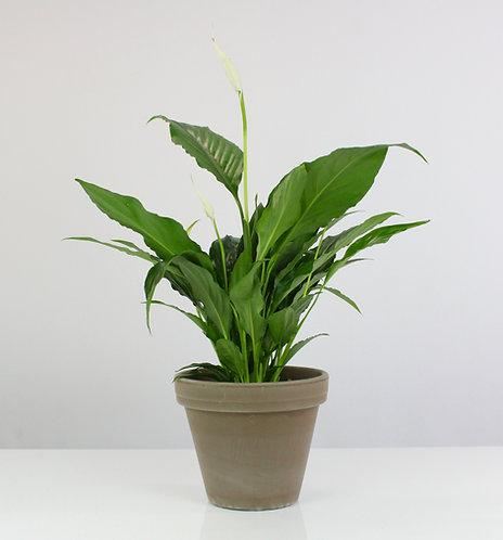 Spathiphyllum wallisii 'Sweet Chico'