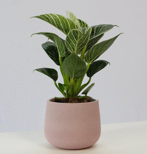 Philodendron 'Birkin'