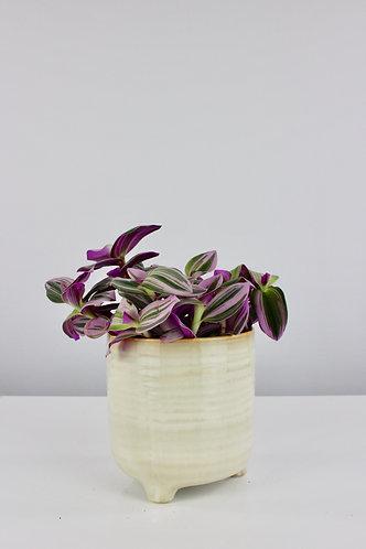 Tradescantia albiflora 'Nanouk'®