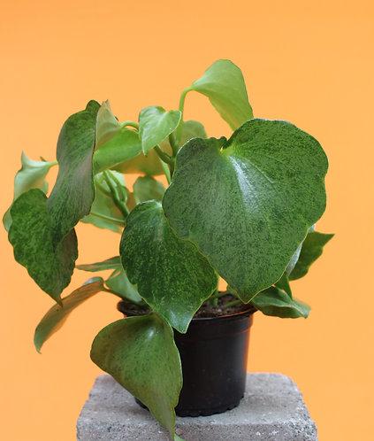 Peperomia polybotrya'Raindrop' variegata