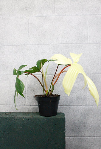 Philodendron 'Florida Ghost'