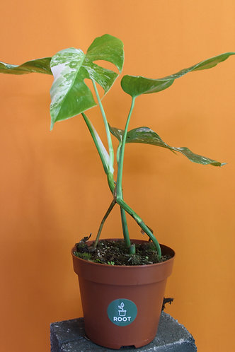 Monstera albo borsigiana
