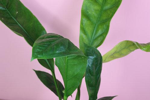 Anthurium 'Jungle King'