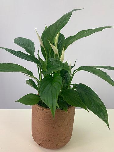 Spathiphyllum wallisii 'Torelli'
