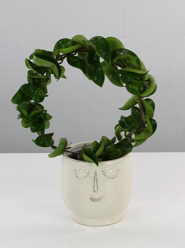 Hoya carnosa 'Compacta'