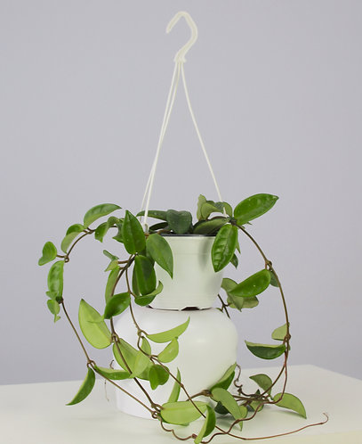 Hoya carnosa hanging pot