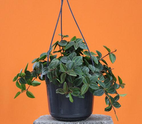 Peperomia angulata 'Rocca verde'