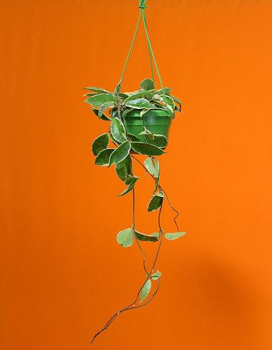 Hoya carnosa 'Krimson Queen'