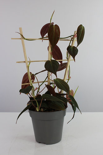 Philodendron hederaceum var. hederaceum