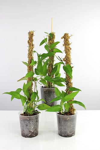 Epipremnum pinnatum 'Skeleton Key'