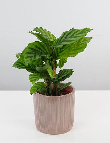 Calathea in ceramic pot