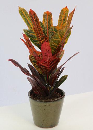 Codiaeum variegatum var. pictum 'Excellent'