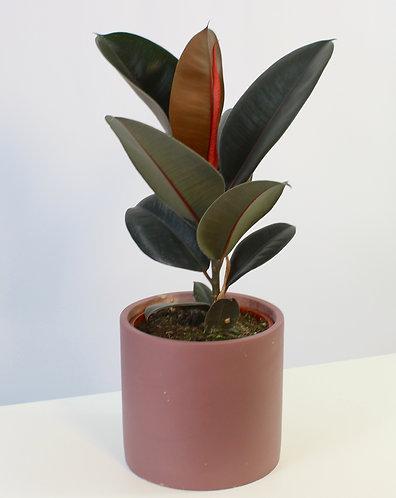 Ficus elastica 'Abidjan' - Rubber plant