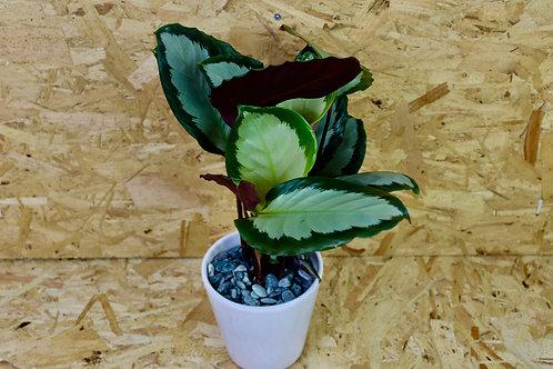 "Calathea picturata ""Argentea"" in white pot"