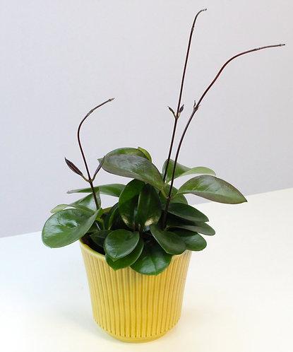 Hoya australis 'Bordvare'