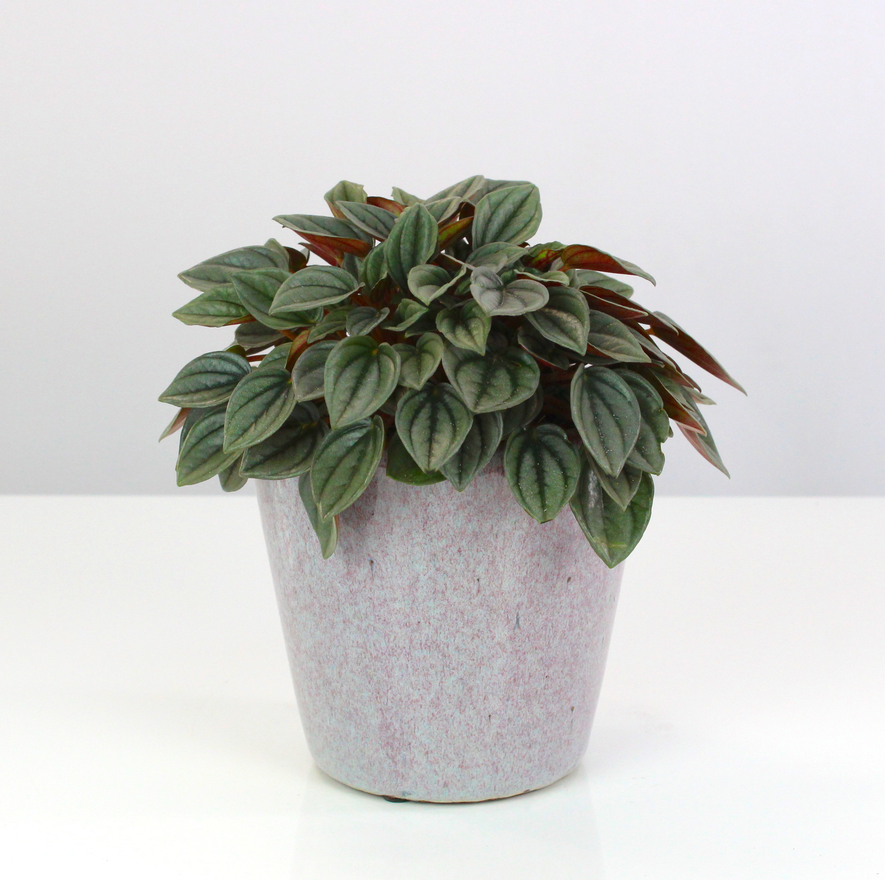 Peperomia Napoli Nights Root Houseplants
