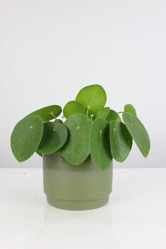Pet friendly plant in ceramic pot