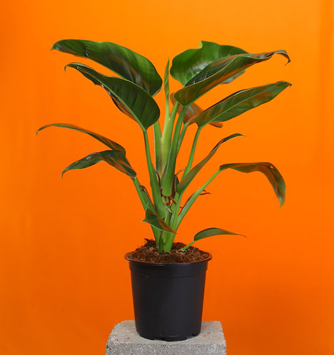 Philodendron 'Millions'