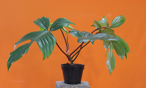 Philodendron 'Florida Beauty'
