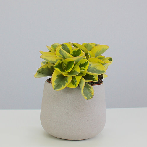 Peperomia obtusifolia 'Variegata'