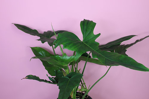 Philodendron 'Golden Dragon'